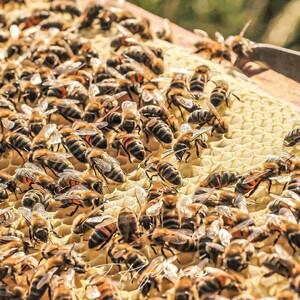 Nous saluons tout le travail passionné de nos amis apiculteurs qui effectuent actuellement des transhumances dans les montagnes pour nourir leurs abeilles du nectar de bonnes fleurs de pays 🐝🌸.  Le délicieux miel de Provence IGP est un des ingrédients phares de notre nougat blanc de Provence.  Retrouvez les engagements du Roy René auprès de la filière apicole 👉 https://bit.ly/3eKBkI4 🐝  Merci à @le_rucher_de_lea_et_loan  pour cette jolie photo 🥰.  #abeilles #abeille #apiculture #apiculteurs #soutien #transhumance #miel #provence #montagne #croquants #engagements #leroyrené #aixenprovence #france